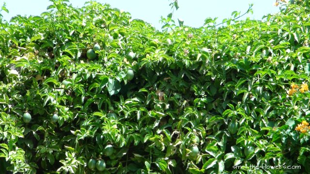 passiflora plant