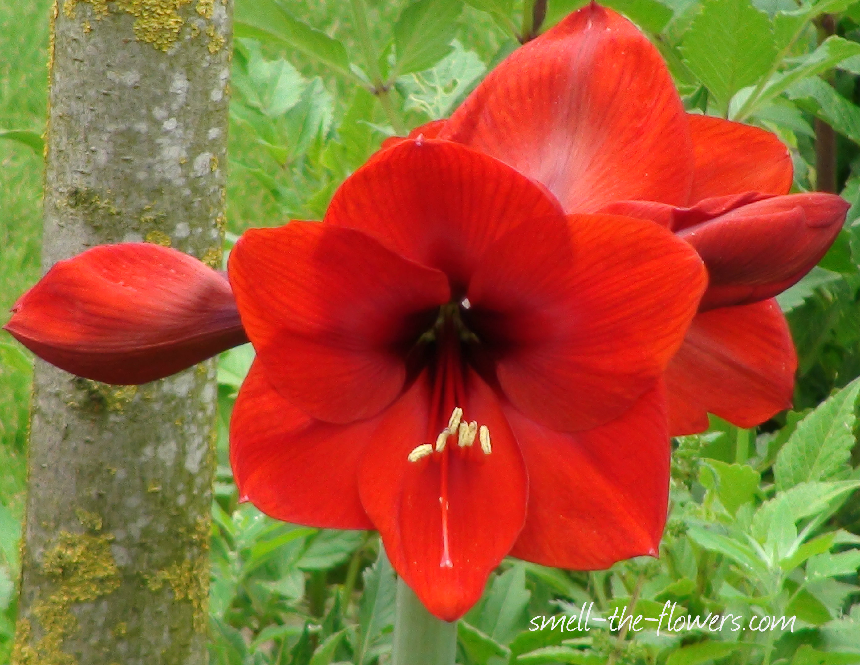 Meaning of flower colors smell the flowers blog for Amaryllis royal red entretien