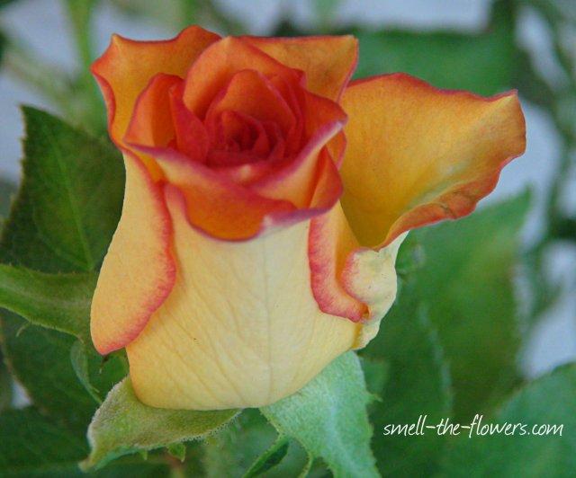 yellow orange rose bud