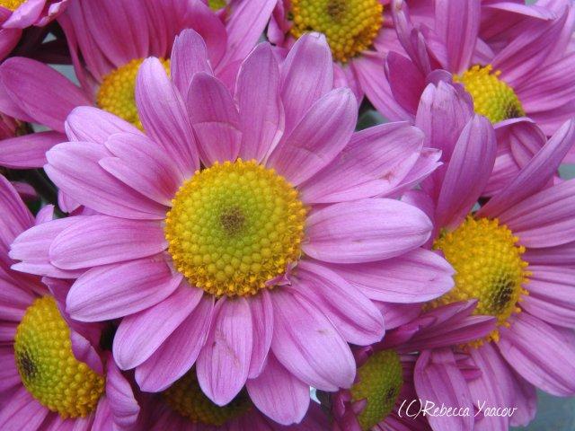 lilac-daisy