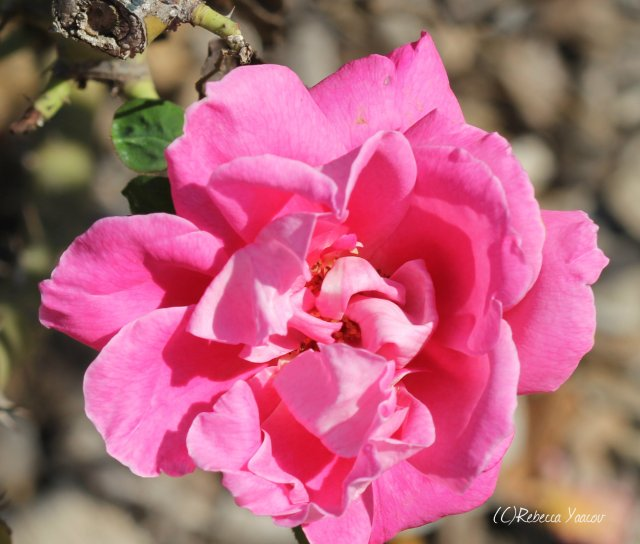 pink rose ramat hanadiv gardens